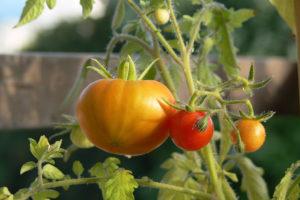 Mon premier potager : conseils pour les jardiniers débutants